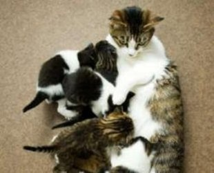 Mother Cat Takes a Bullet for Her Kittens (http://www.delmartimes.net/2012/06/14/mother-cat-takes-a-bullet-for-her-kittens/)Lovely Kittycat, Mothers Cat, Cat Meow, Kittens Th Mothers, Mama Cat, W Kittens, Bullets