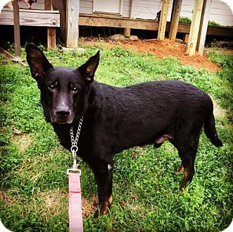Poughkeepsie, NY - Shepherd (Unknown Type)/German Shepherd Dog Mix. Meet Johnny, a dog for adoption. http://www.adoptapet.com/pet/17884057-poughkeepsie-new-york-shepherd-unknown-type-mix