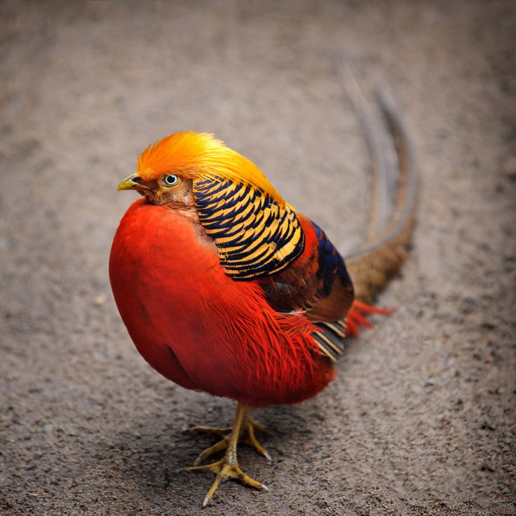 "She has wings to fly... anytime anywhere. But at times she plants her feet firmly on the ground. Something to ponder about. | ""The Golden Pheasant"" by Ari Salmela"