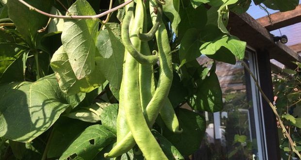 Miss Gardening? Grow Green Beans Indoors This Winter