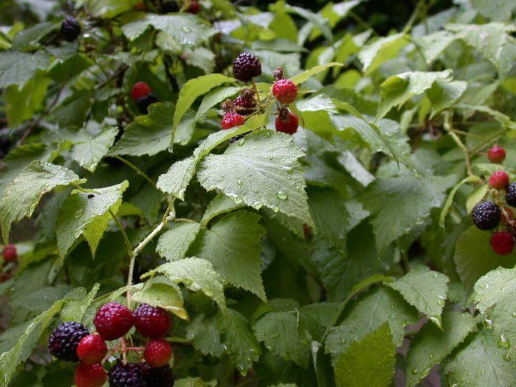 Growing Raspberries.