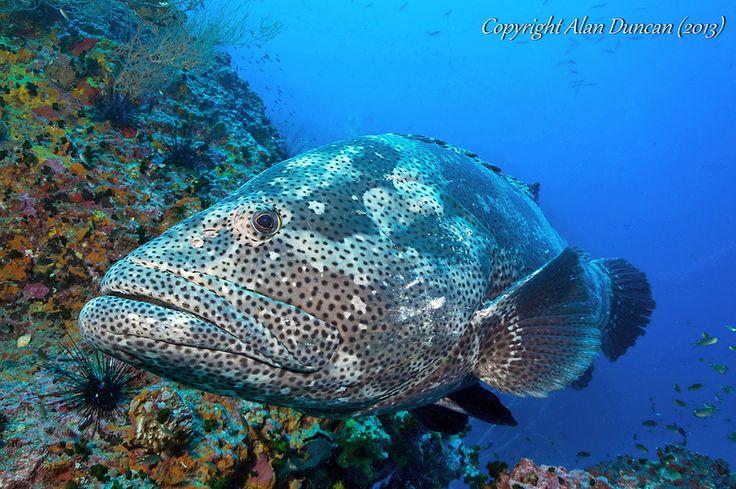 Malabar Grouper (Epinephelus malabaricus) at Sail Rock, Koh Phangan, Thailand