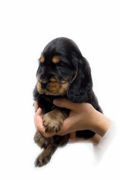 Learn how to train a puppy - includes: puppy obedience training such as Sit, Stay, Down, etc, toilet training puppies; crate training a puppy; socializing a puppy; and much more!