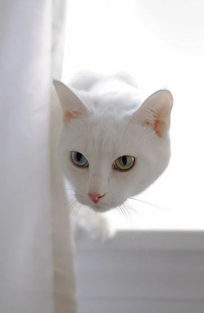 #Cat with different colored eyes | #animal