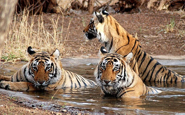 About 130 km from Jaipur is situated Sawai Madhopur, home to north India's one of the largest and renowned national parks -