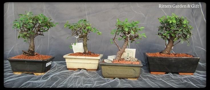 Zelkova #bonsai.