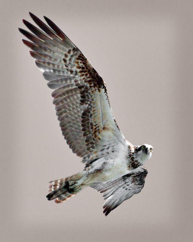 Osprey Portrait : Montgomery Reef, Kimberley : True North Mark Photography