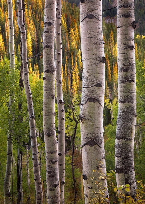 CRESTED BUTTE, COLORADO: Natural Photography, Birches Trees, Aspen Trees, Crests Butts, Beautiful Landscape, Michael Anderson, Painting, Beautiful Pics, Photography Inspiration