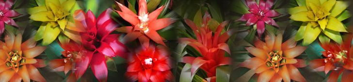 Bromeliad Plant Growing Specifications – Guzmania Lingulata And Hybrids...and now i know how i've been killing mine! ;P