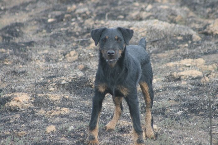 California Catchers - Patterdale Terriers and Argentine Dogos - California