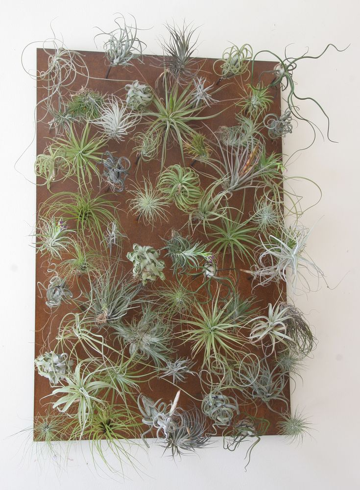 Tillandsia vertical garden. Great ideas for displaying these plants and succulents.