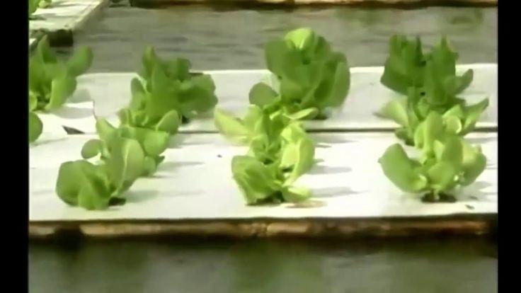Выращивание салата или чем нас кормят производители салата с помощь гидр...