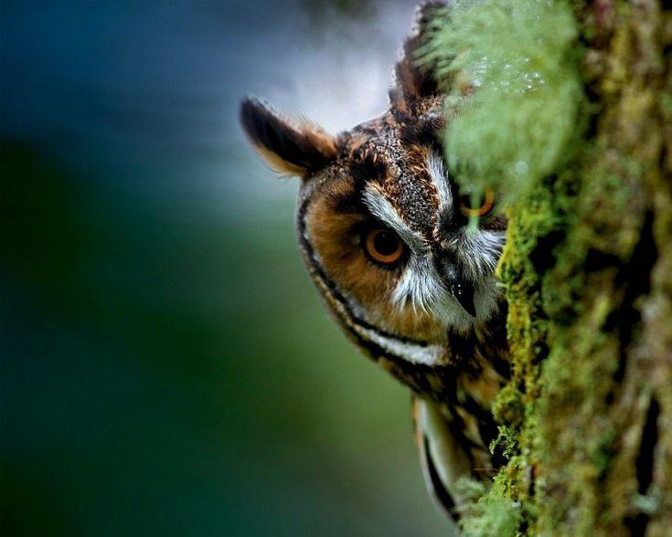 Фото с совой, выглядывающей из-за дерева #картинки #фото #животные #птицы #сова #owl