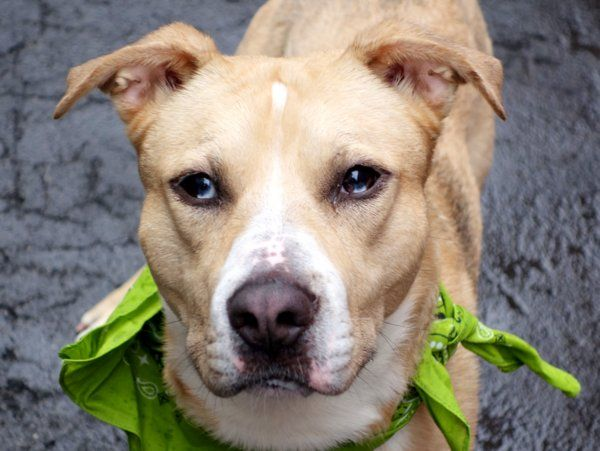 TO BE DESTROYED – 04/13/15 – ZIGGY STAR – A1031857 – MANHATTAN, NYMy name is ZIGGY STAR. My Animal ID # is A1031857. – P I am a male tan and white collie smooth and pit bull mix. The shelter thinks I am about 1 YEAR I came in the shelter as a STRAY on 03/31/2015 from NY 10027, owner surrender reason stated was STRAY.