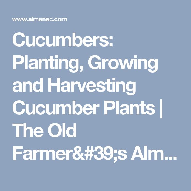 Cucumbers: Planting, Growing and Harvesting Cucumber Plants | The Old Farmer's Almanac