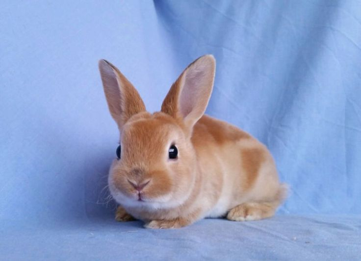 Low Allergy Xmas Mini Rex Rabbit Babies - Soft as velvet | Rabbits | Gumtree Australia Joondalup Area - Joondalup | 1131224217