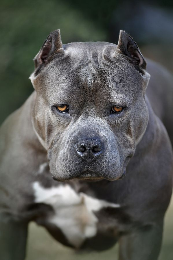 Xica, the #Pitbull, by Jim Aba  I dont like how they chopped off his ears, but he sure is handsome