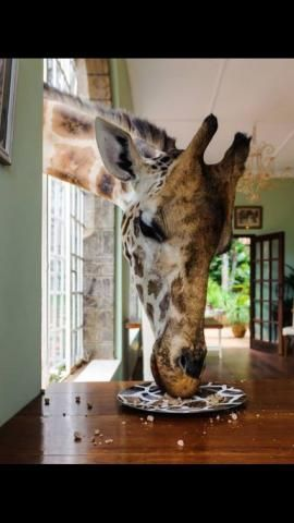 PetsLady's Pick: Funny Giraffe Day Giraffe Of The Day...see more at PetsLady.com -The FUN site for Animal Lovers