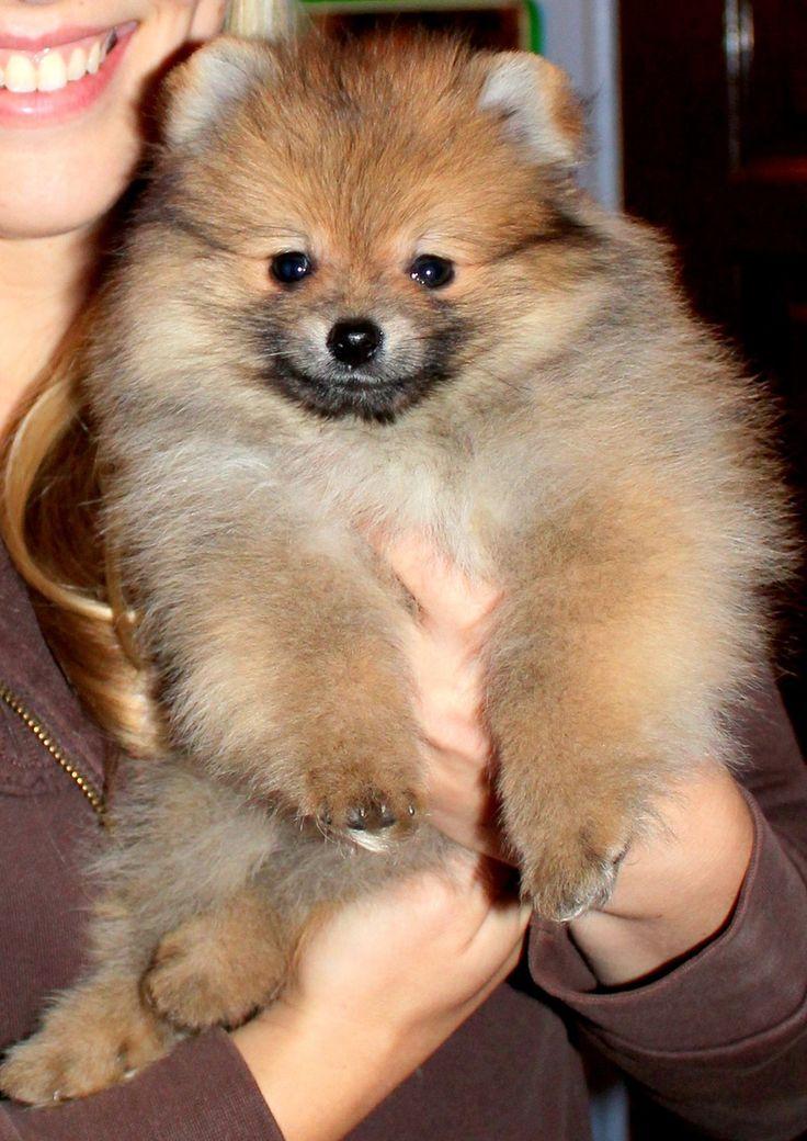 343 best images about Pomeranians on Pinterest | Teacup ...