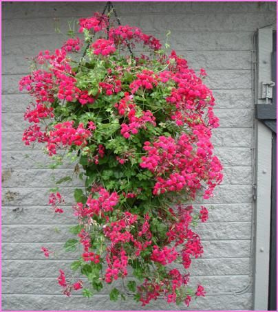 Ivy geraniums in hanging baskets for the front porch - plant in May