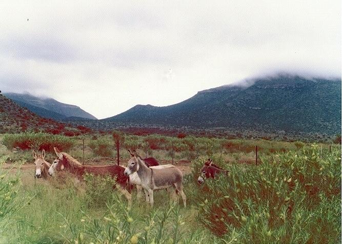 Roadside donkeys, Karoo, SouthAfrica.