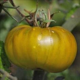 Tomate grappe 'Evergreen'