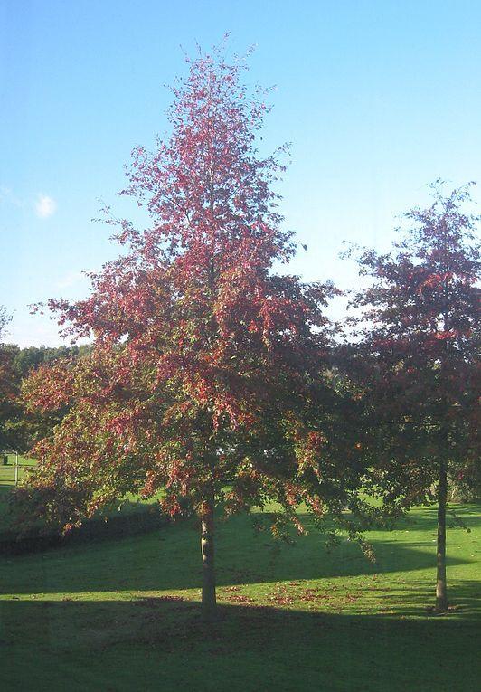 Quercus palustris - Moeraseik - ideaal maar bladverliezend