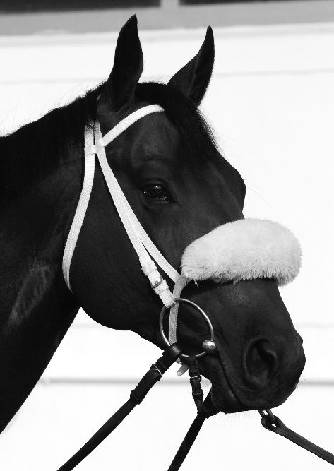 #DidYouKnow Shadow rolls are usually made of sheepskin, attached to the noseband so the horse focuses on the action