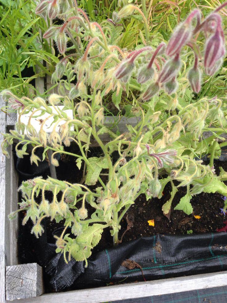 Borago officinalis - rohtopurasruoho, rohtoyrtti
