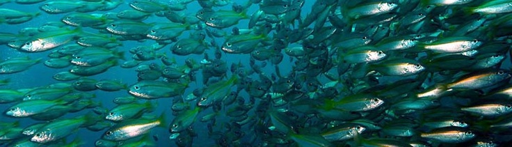 Richelieu Rock- Top Thai dive spot