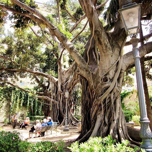 Magnificent!  I was in awe seeing this huge tree in Ortigia, Sicily  #amazing #inawe #tree #instalove #sobeautiful #nature #ortigia #sicily #italia #instatravel #instamoments #explore #travel #live #love #adventure #picturesque #colourful #vibrant #afternoonstroll #spring #holiday #instaholiday #scenic #thatview #melbournelifelovetravel #visitsicily #visititaly #instasicily #instaitaly