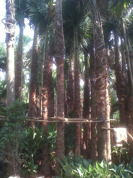 Pohon Palm Sadeng