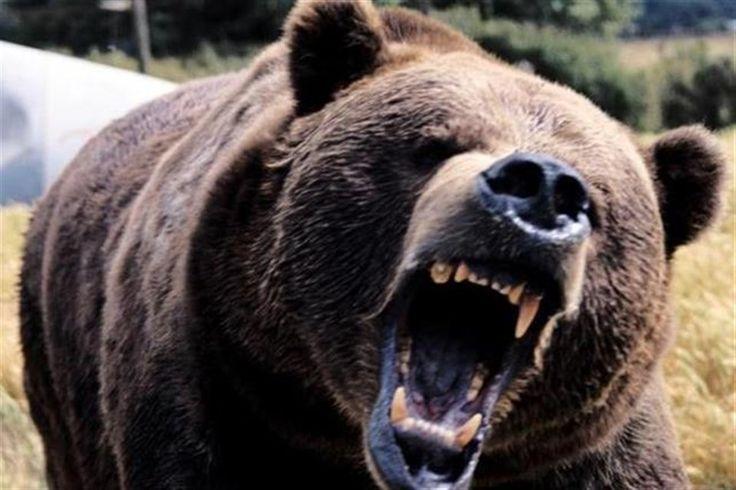 """Azonnali hatállyal engedélyeztetnék a veszélyes medvék kilövését. """"Hagyjuk a közvitát!"""" http://ahiramiszamit.blogspot.ro/2017/07/azonnali-hatallyal-engedelyeztetnek.html"""
