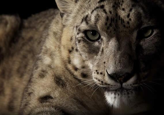 "Vincent Musi ""Big Cats""Wild Cat, Big Cats, Animal Photography, Snow Leopards, Bigcats06Jpg 550367, Vincent, Animal Prints, Musi Big,  Ounce"