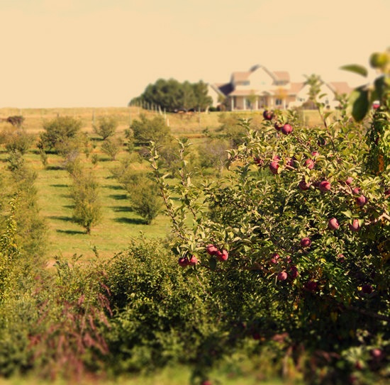 Apple orchard: Orchards Farms, Apples Orchards Parts, Farms House, Aunt Orchards, Apples Appeal, Pools House, Apples Country, Backyard Orchards, Farm Houses