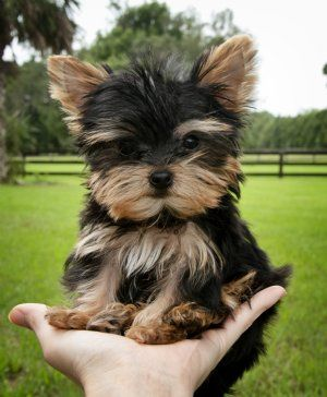 Perfection!, AKC Registered T cup Yorkshire Terrier.