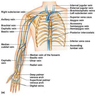 17 best ideas about arteries and veins on pinterest, Cephalic Vein