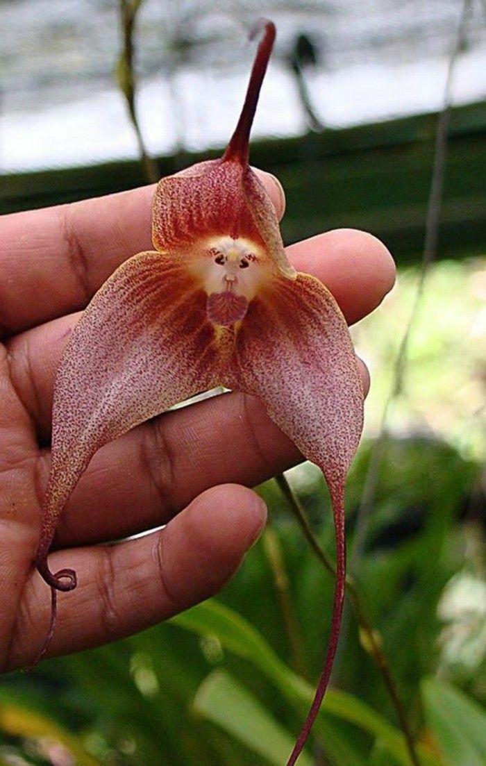 orchidée rare tête de singe