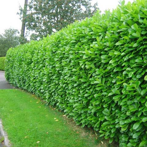 Laurel is the quickest growing evergreen shrub, so if you don't want a conifer hedge, Laurel is the quickest and cheapest way of creating an evergreen garden hedge. Laurels will also provide the most instant hedging as the taller sizes (4ft, 5ft and 6ft) are bushy and can often create an instant screen if planted close enough.