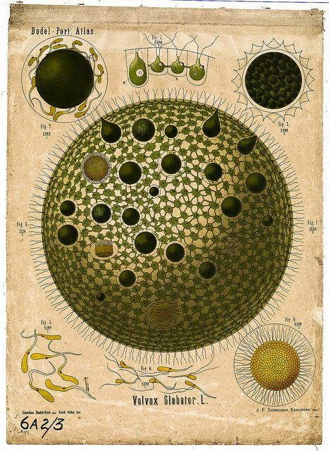 """Volvox globator  """"This shows the freshwater green alga Volvox globator. Many individual cells live together forming a beautiful spherical colony. Some of them are specialized for reproduction."""" #BibliOdyssey"""