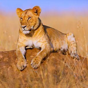 """#Tansania #Rundreise #TarangireNationalpark Wusstet ihr, dass die #Serengeti eines der komplexesten Ökosysteme des Kontinents ist? Das """"endlose Land"""", wie die #Savanne in der Sprache der #Massai heißt, - bietet außerdem Millionen von #Gnus einen Lebensraum. http://www.africa-royal-tours.de/tansania-rundreise-und-baden/"""