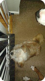 Waldorf, MD - Shih Tzu/Maltese Mix. Meet Mia a Dog for Adoption.