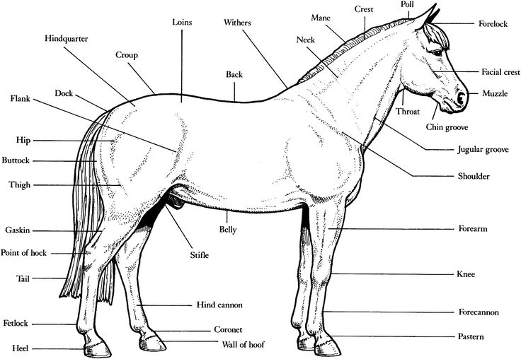 Free Horse Unit Study Resources - | Pinterest | Anatomy, Horse and ...
