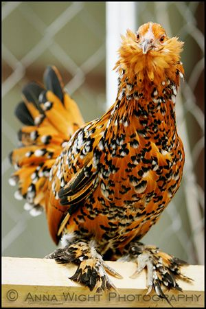 AnnaWightKR7I8873web300- This is a bantam d'Uccle Mille Fleur. D'Uccle bantams have many colours- Mille Fleur is one type
