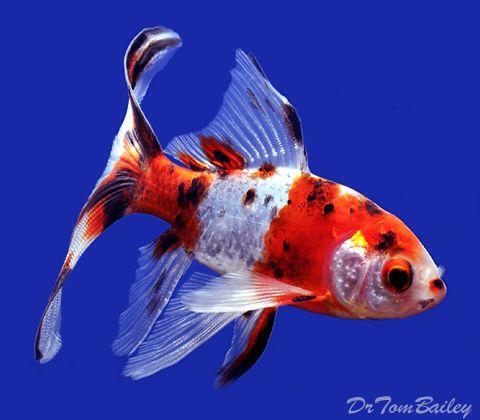 Shubunkin, Featured item. #shubunkin #fish #petfish #aquarium #aquariums #freshwater #freshwaterfish #featureditem