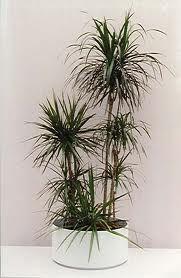 ayang's: tanaman - tanaman pembersih udara ruangan