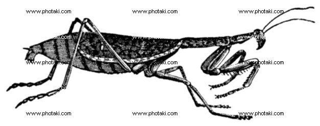 http://www.photaki.com/picture-european-mantis-or-mantis-religiosa-vintage-engraving_1330128.htm