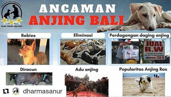 From @dharmasanur  HAL APAKAH YANG MENURUT ANDA MENGANCAM KEBERADAAN ANJING BALI SAAT INI? Ceritakan di kolom komen  Anjing Bali adalah warisan dan Aset yang berharga untuk pulau Bali. Ancaman anjing Bali saat ini menurut Program Dharma : 1. Rabies Sejak tahun 2008 muncul kasus rabies di Bali. Kasus rabies menjadikan anjing Bali dianggap sebagai penyebab utama penularan rabies padahal seluruh anjing bisa terkena rabies baik anjing ras maupun anjing Bali. 2. Eliminasi Anjing Bali menjadi…