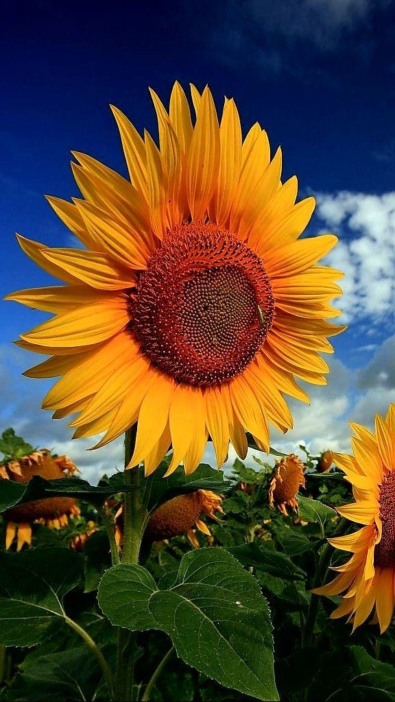 Big Beautiful Sunflowers Sunflower Photography Fall Pictures