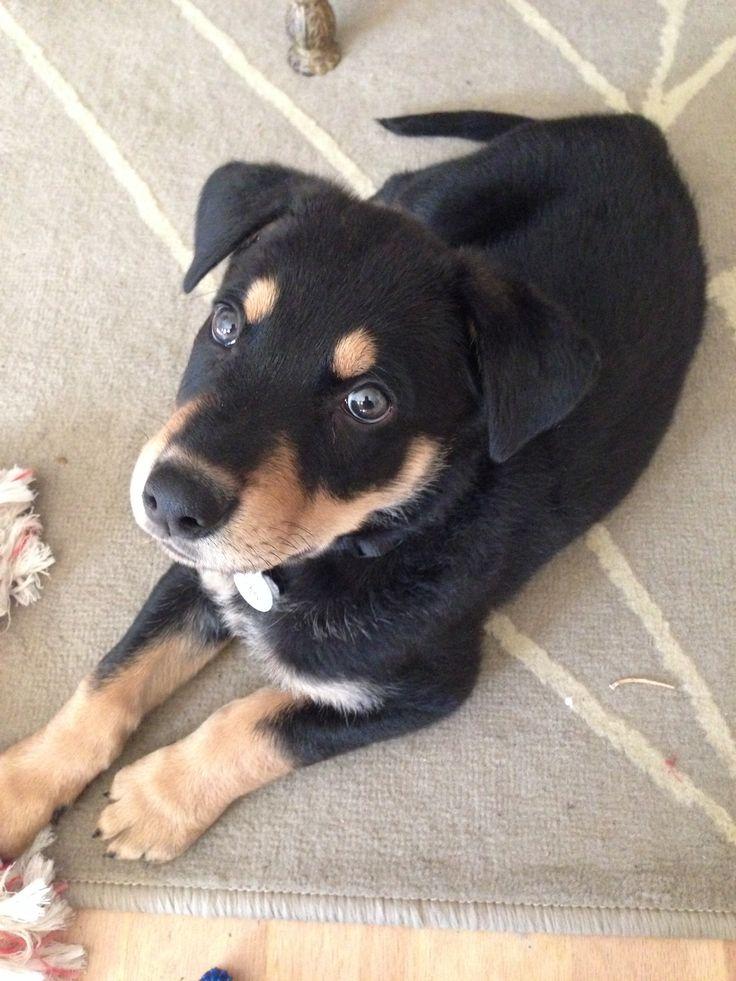 Jax - Doberman shepherd mix pup on Pinterest | Doberman Shepherd ...